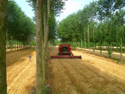 An agroforestry system (interplanting poplar trees and wheat) in southern France. The system produces more grain and wood by hectare than if the two crops were cultivated separately. (Christian Dupraz)