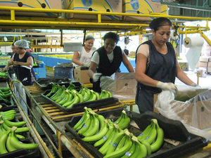 The global banana trade is controlled by a few vertically integrated transnational companies that dominate the whole supply chain, from production to packing, shipping, and marketing. Photo: Lupita Aguila Arteaga, STITCH