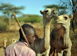 Un joven pastor de la comunidad Borana cuida de los camellos jóvenes mientras sus madres son ordeñadas al alba en Isiolo, 300 kilómetros al norte de Nairobi, Kenya. La leche de camello es colectada a diario en el área, por recolectores en pequeña escala, y luego se vende en puestos callejeros en Nairobi. Las recurrentes sequías de los años recientes han renovado el interés en el camello y en su resistencia a los climas extremos (Foto: France 24).