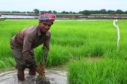 An Indian worker transplants rice on a major commercial agricultural scheme run by an Indian company in the Gambela region of Ethiopia. (Photo: Ben Parker/IRIN)