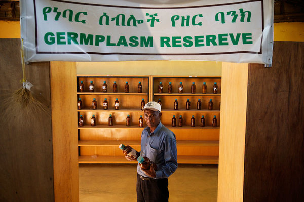 The germplasm reserve at the Ejere Farming Community Seed Bank, one of many local facilities the Ethiopian Biodiversity Institute works with. NATIONAL GEOGRAPHIC IMAGE COLLECTION / ALAMY