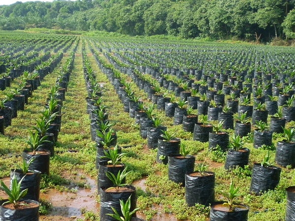 Oil palm seedlings in Malaysia. (Photo: Sophie Gnych)