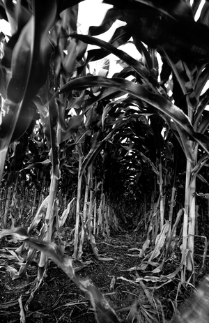 Maize sprayed with herbicides in Chiapas, Mexico (Photo: David Lauer).