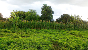 A mixed garden with ground nuts, bananas, maize and trees, in Zimbabwe, in 2018. Photo: ZIMSOFF.