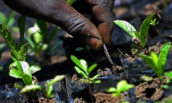 Tending seedlings in Kenya: future prisoners of plant variety protection laws? (Photo: Tony Karumba/AFP)