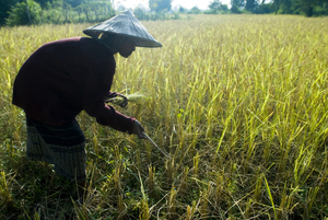 Rice farmer in Laos. (Photo: Whi.travel/Flickr)