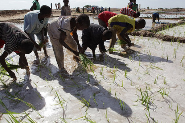Planting rice in Mali: the common trend, across numerous initiatives to change land laws, is towards titles that will allow communities and small landholders to sell or lease land to investors. (Photo: Devan Wardell/Abt Associates)