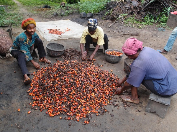 Cameroonian women sorting palm fruits. (Photo : Nature Cameroon)