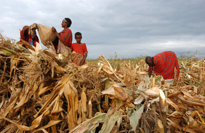 Harvesting maize in Narok, Kenya: if all the country's farms matched the current productivity of the country's small farms, Kenya's agricultural production would double. (Photo: Ami Vitale/FAO)