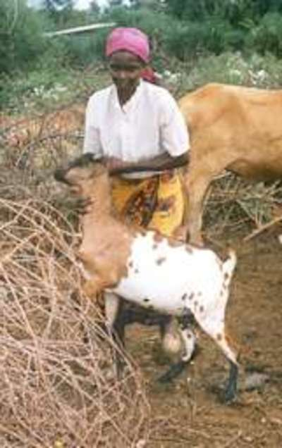 Pastoralism an untold tale of adaptation and survival-image