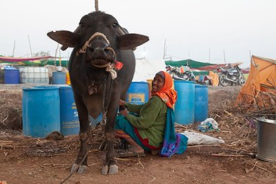 Indian dairy under threat from new trade deals-image